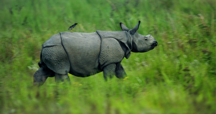 Young bird riding a rhino